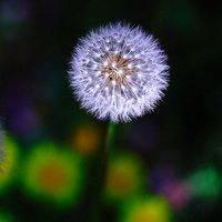 紫色蒲公英 微信�^像�D片花朵唯美