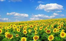 漫山遍野的葵花