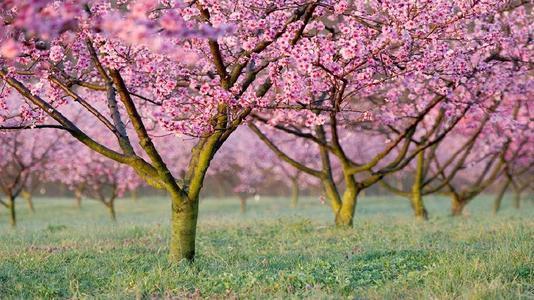 桃树园里的桃花盛开