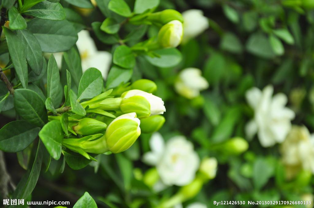 盛开中的栀子花