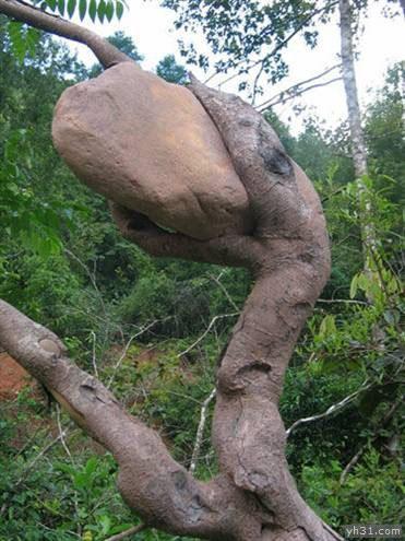 长得像恐龙一样的树