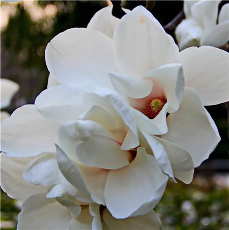 白�m(lan)花