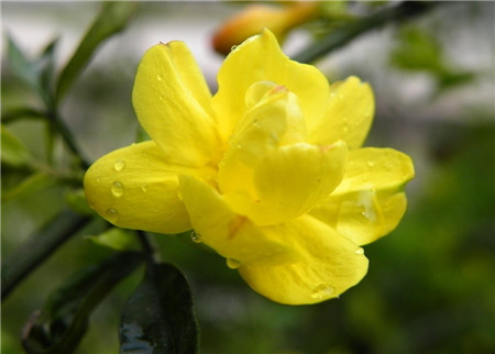 迎春(chun)花