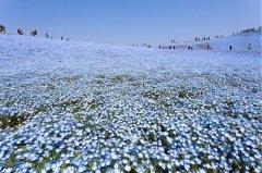 日本海滨公园粉蝶花之海,让人沉醉!