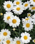 """小雏菊的花语是""""天"""