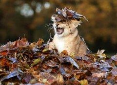 落叶下的小狮子,好