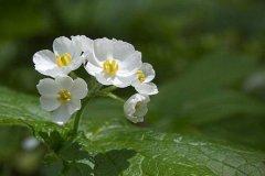 春末开花的山荷叶,