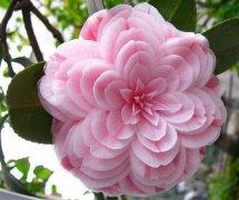 这是茶花中的一个珍