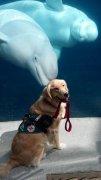 一只服务犬在海洋馆的留影。白鲸